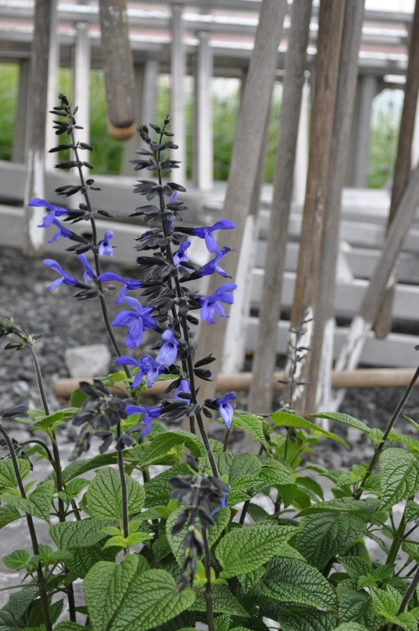 Salvia Hybrida ' Black and Bloom' - Säntispracht