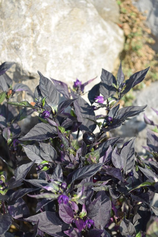 Capsicum annuum 'Purple Flash' - Säntispracht